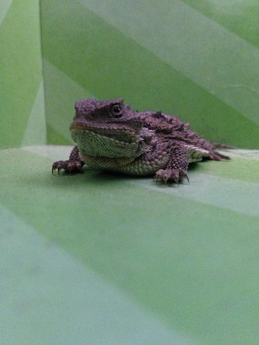 lizard (1)